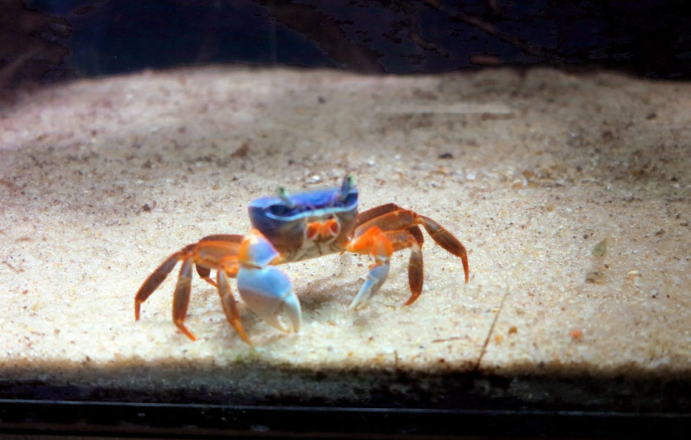 A colourful crabs in one of the many tanks in the aquarium underneath one of the large conservatories