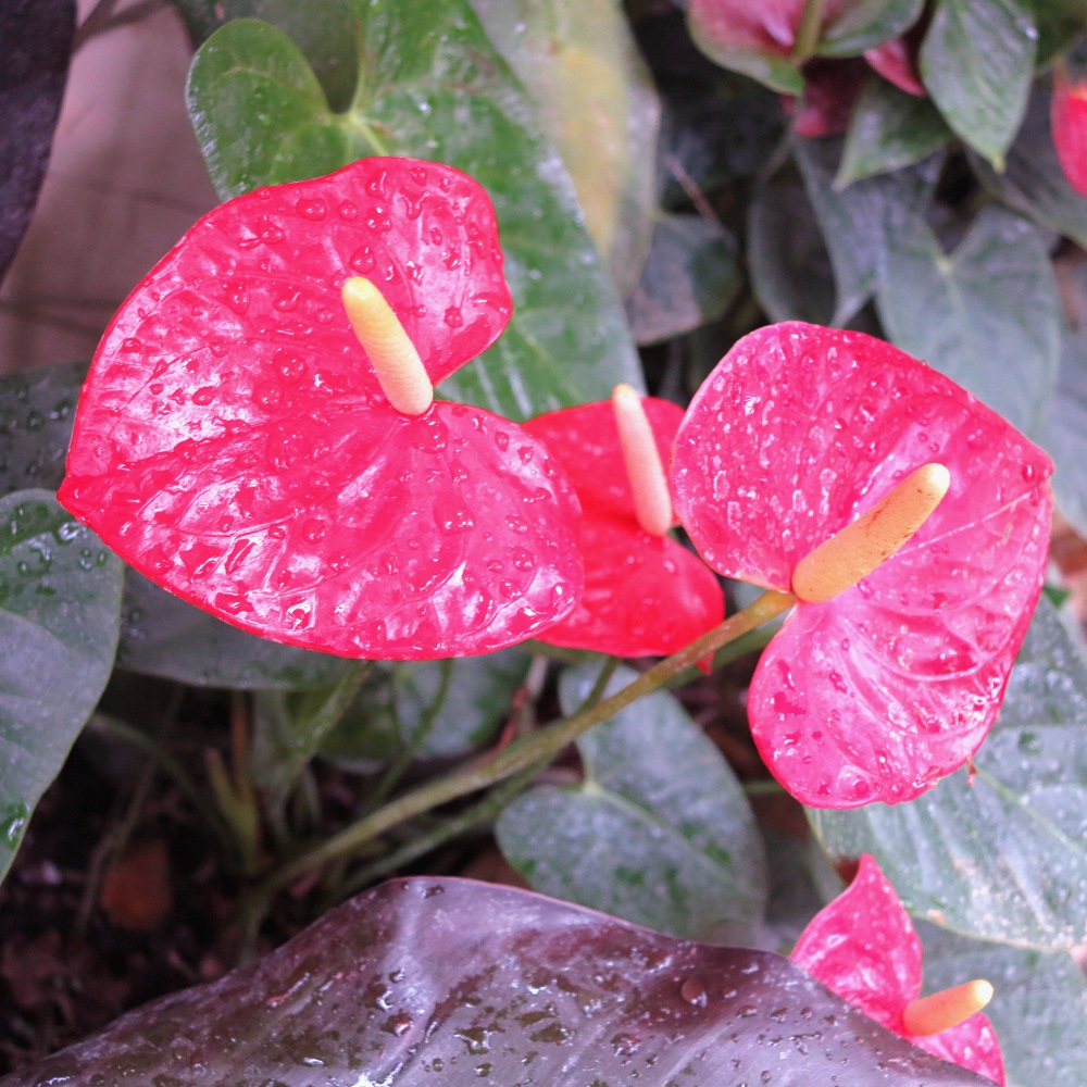 A red flower in the small secluded garden conservatory