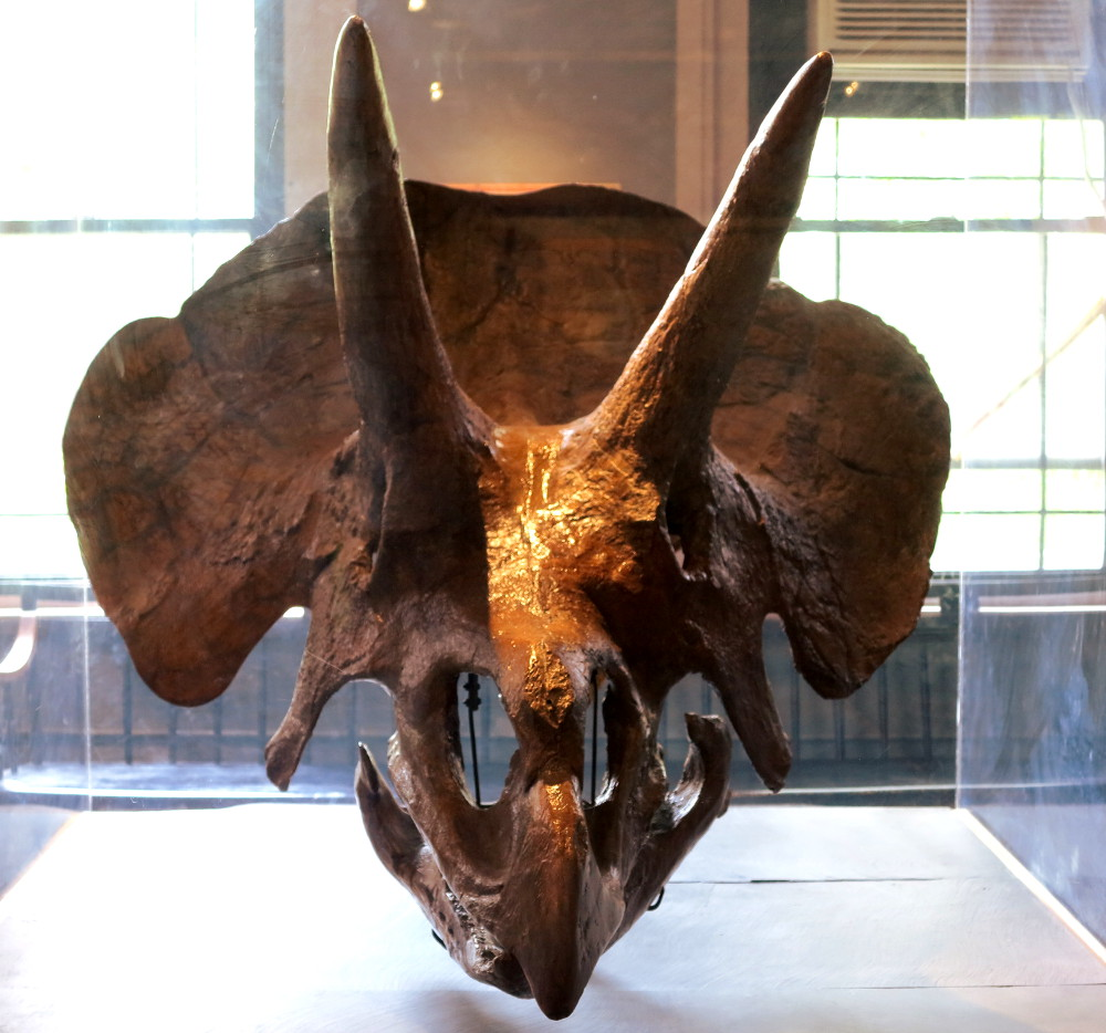 harvard museum natural history triceratops double-barrelled travel
