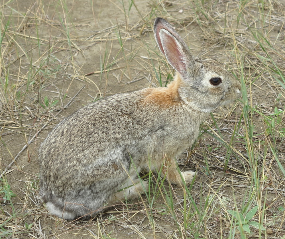 A bunny rabbit in the Badlands Double-Barrelledtravel