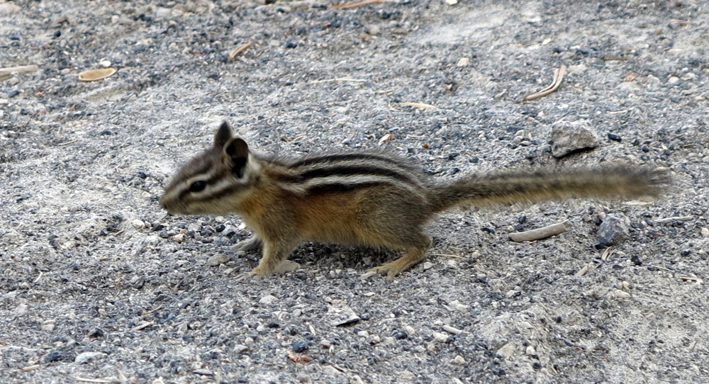 A chipmunk at Yellowstone Double-Barrelled Travel