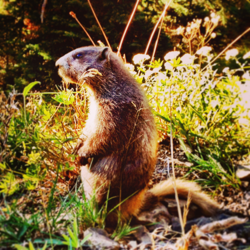 An olympic marmot near Hurricane Ridge in Olympic National Park Double-Barrelled Travel