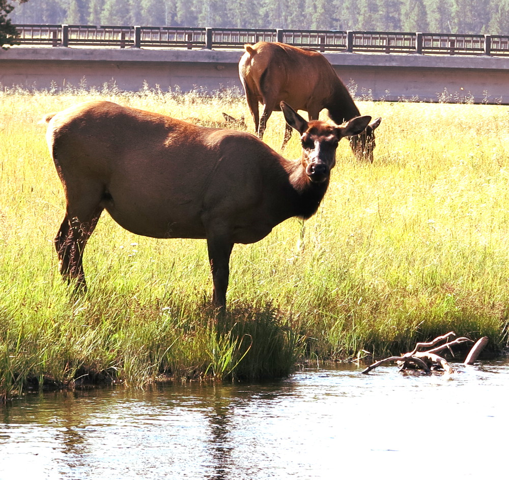 Deer watching at Yellowstone Double-Barrelled Travel
