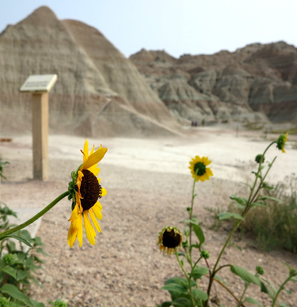 Pretty flower in the Badlands double-barrelledtravel