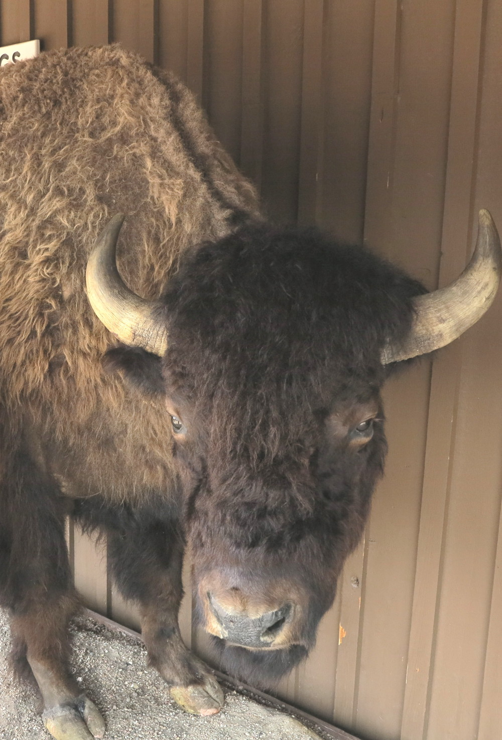 Stuffed buffalo at Wall Drug in South Dakota Double-Barrelledtravel