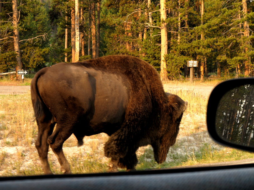 Wild animals in Yellowstone - Double-Barrelled Travel
