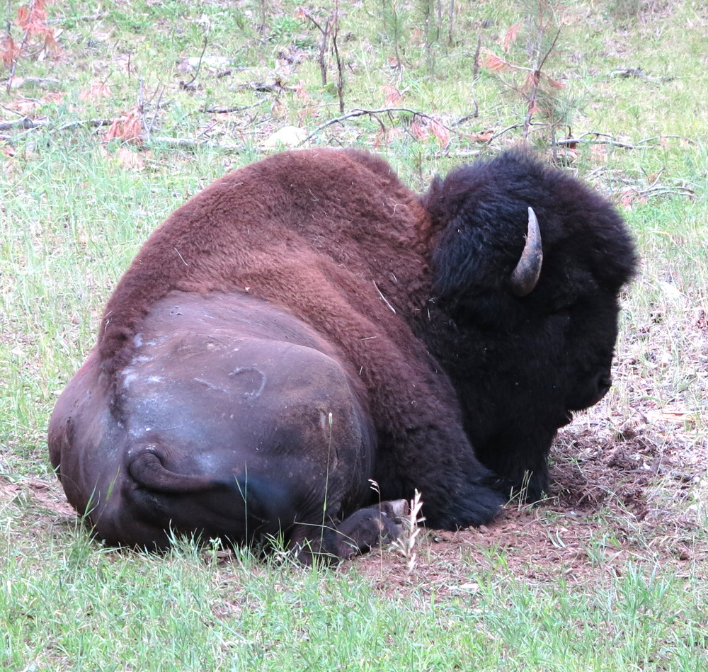 buffalo in the black hills double-barrelledtravel
