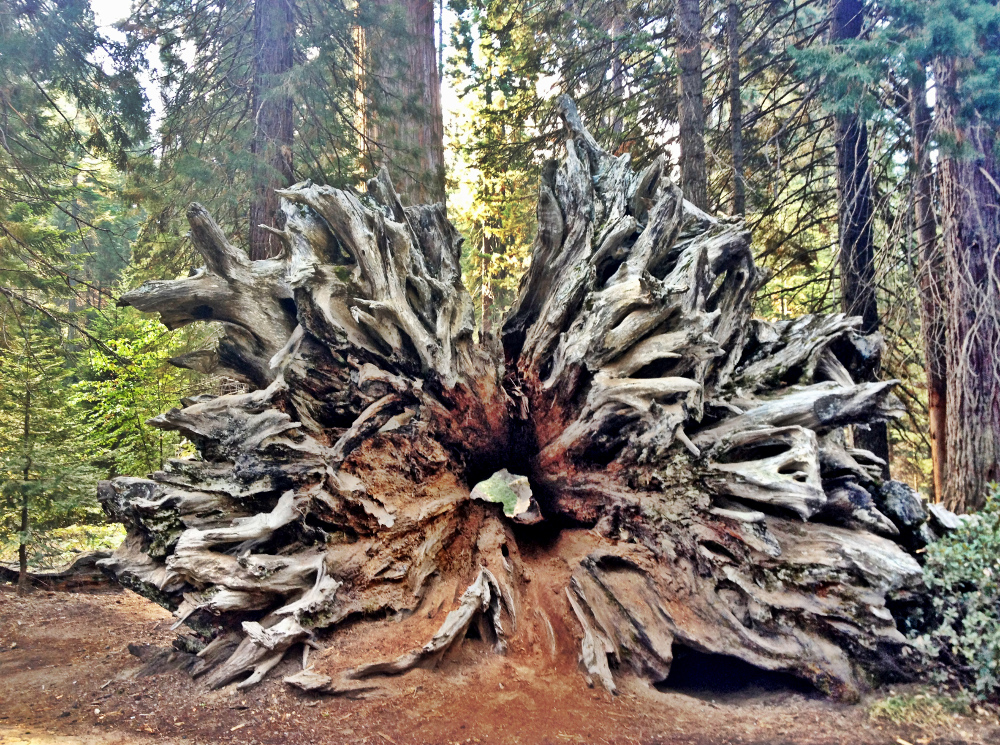 Sequoia tree trunk Double-Barrelled Travel