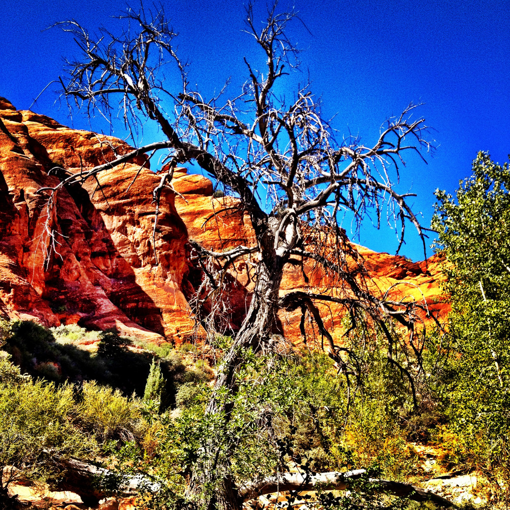 gnarly tree on the Red Cliffs hike in Utah  Double-Barrelled Travel
