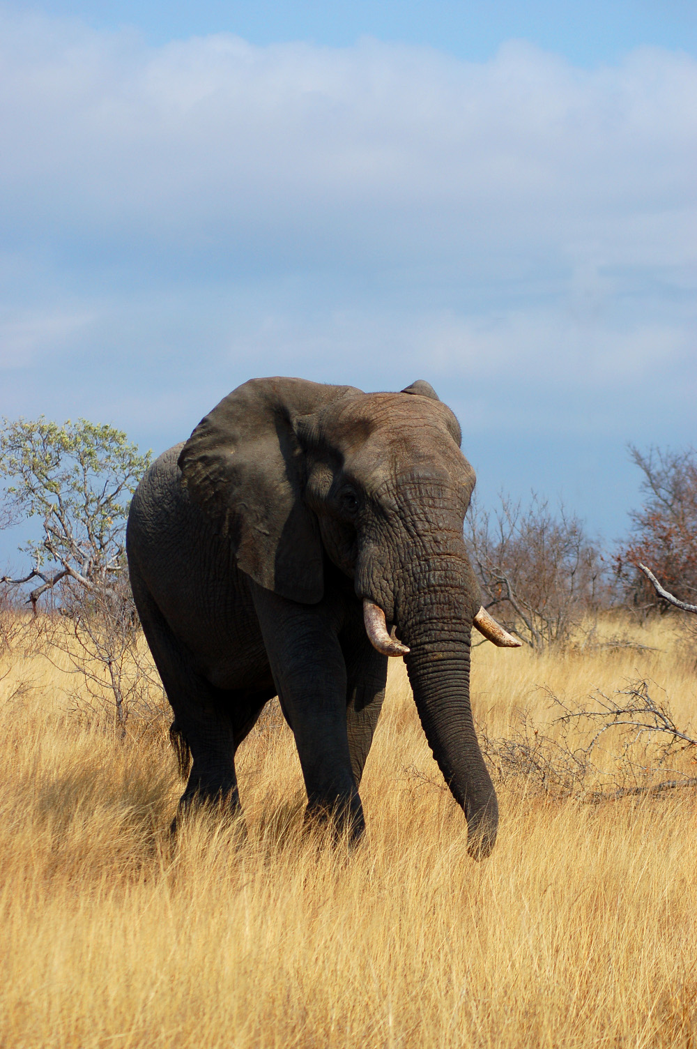 Elephant at Kruger National Park Double-Barrelled Travel