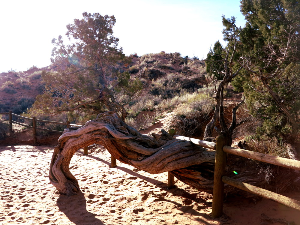 Juniper tree at Arches Park Double Barrelled Travel