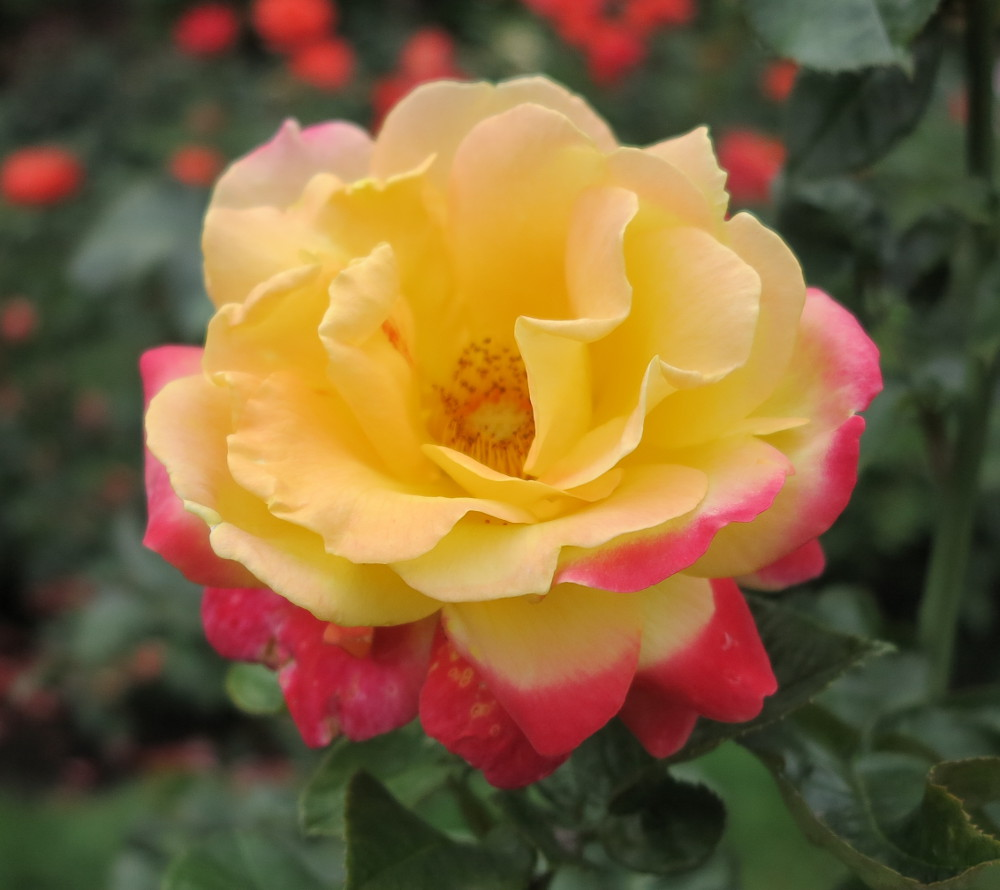 Portland rose  DOuble-Barrelled Travel