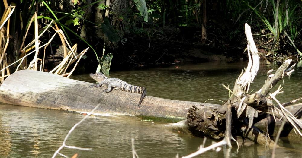 Alligator Cajun Encounters swamp tour Double-Barrelled Travel