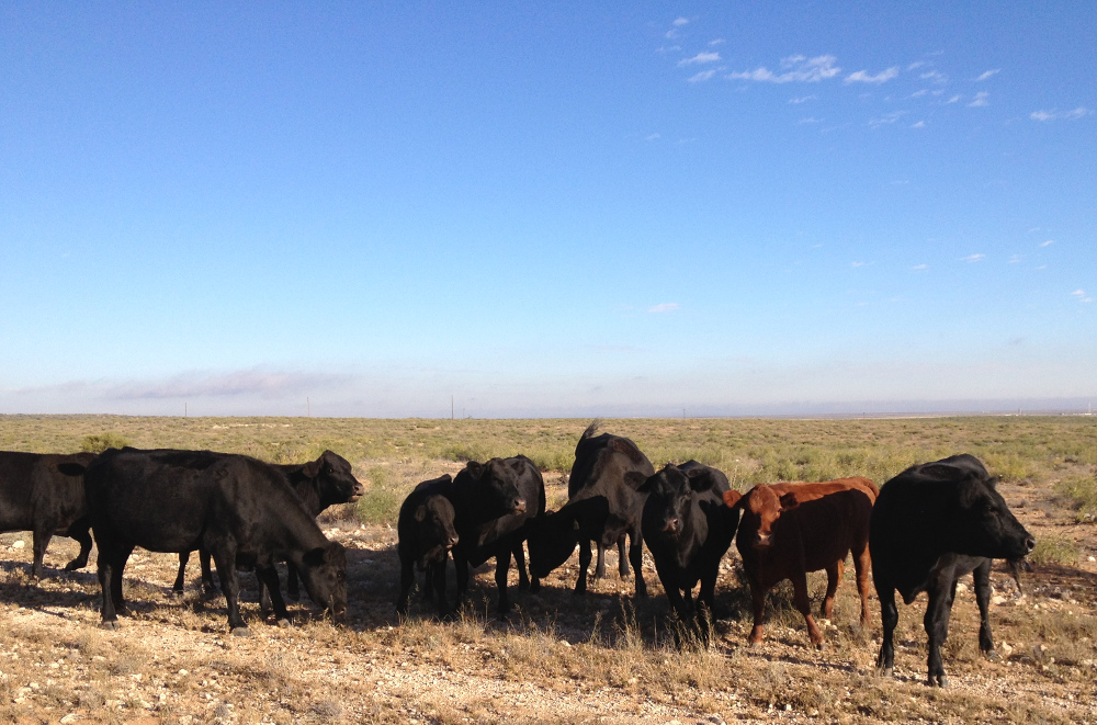 Cows eating on a Texas Ranch Double-Barrelled Travel