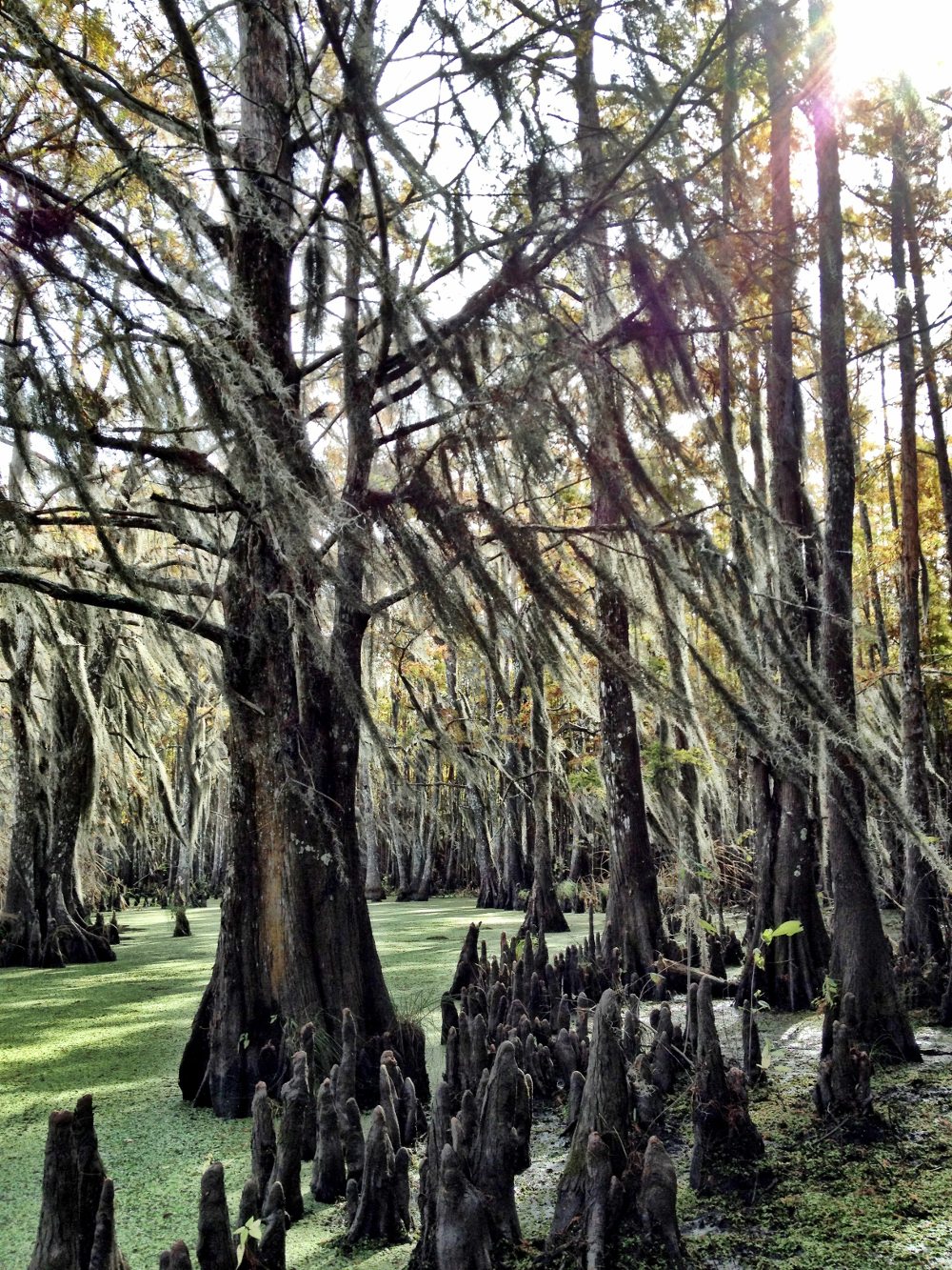 Cypress knees on Louisiana swamp tour Double-Barrelled Travel