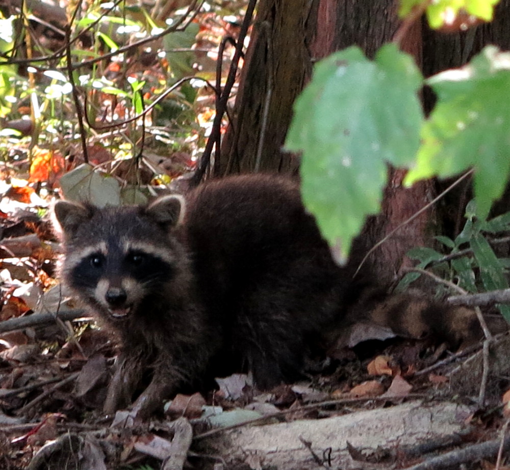 Raccoon on the Cajun Encounters swamp tour Double-Barrelled Travel