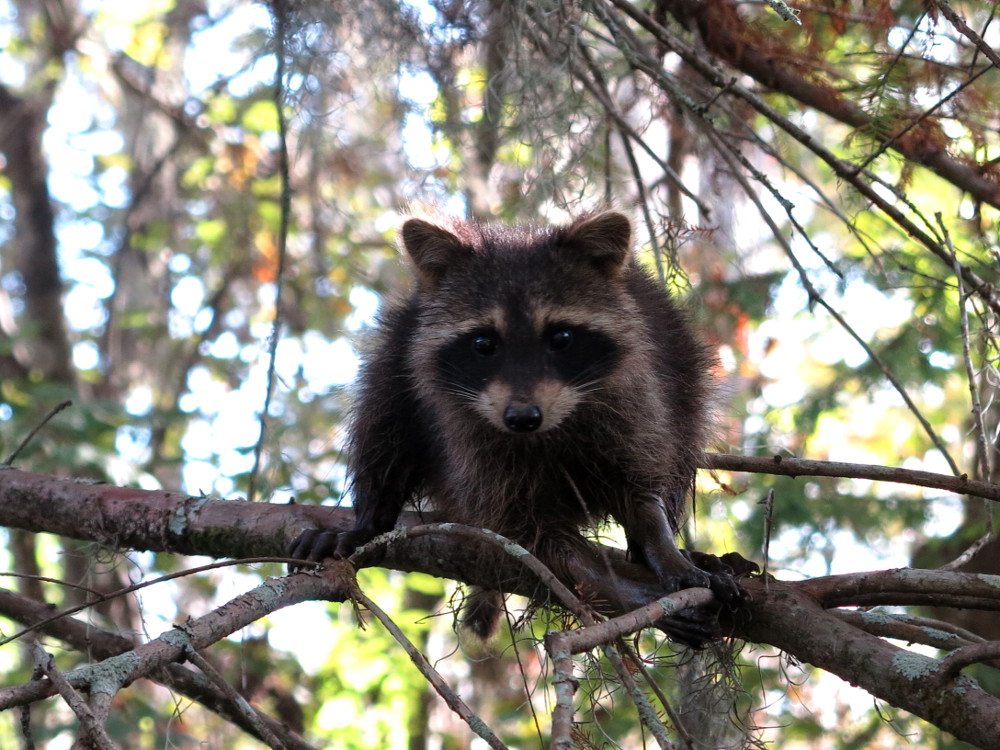 Raccoon2 on the Cajun Encounters swamp tour Double-Barrelled Travel
