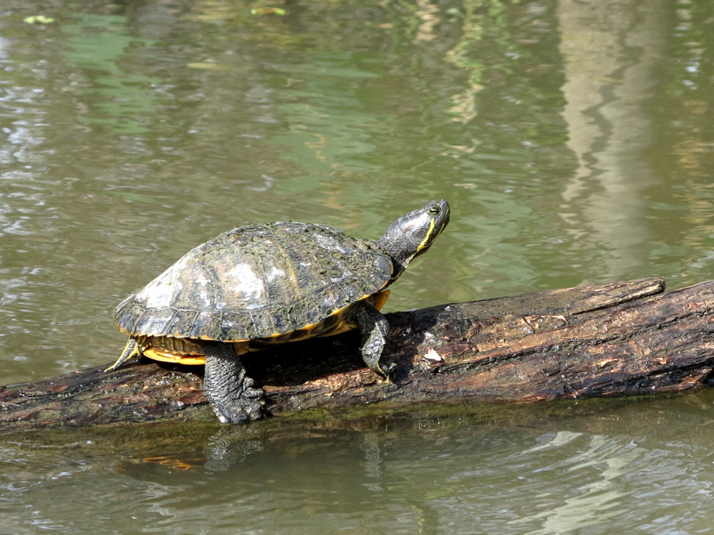 Turtle spotted on the Cajun Encounters swamp tour Double-Barrelled Travel