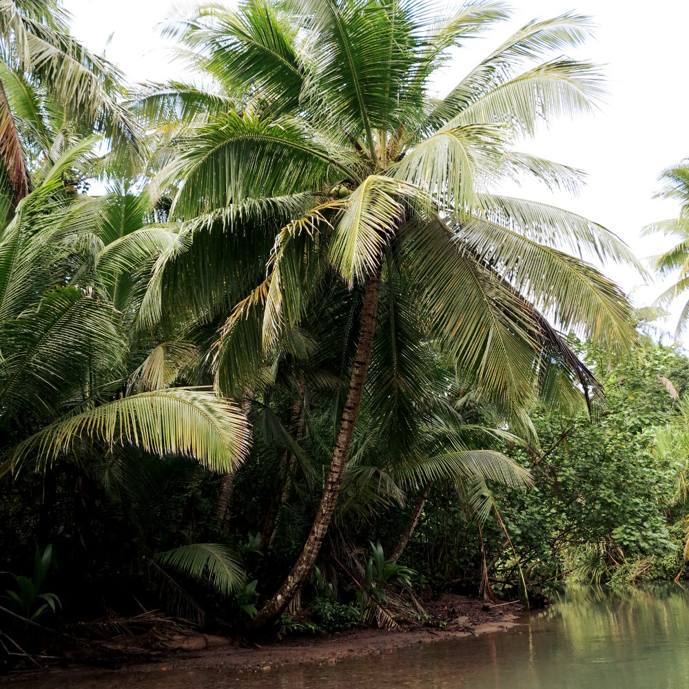 Palm tree Indian River Dominica Double-Barrelled Travel