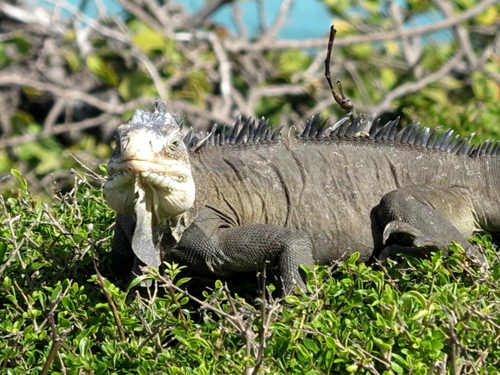 Iguana petite terre Guadeloupe Double-Barrelled Travel