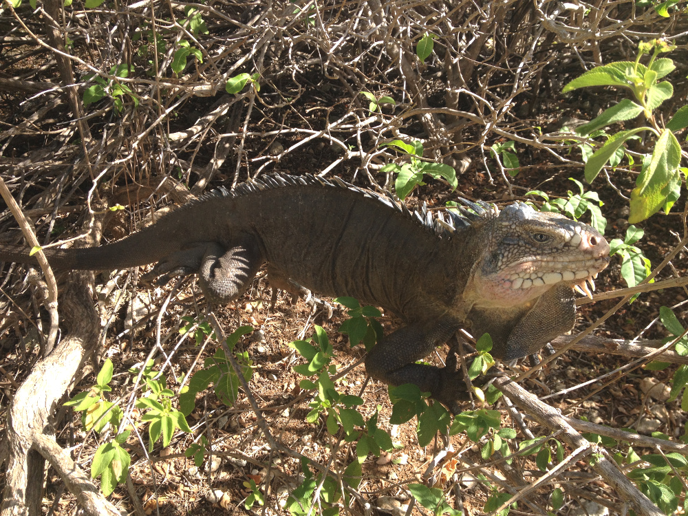 Iguana posing Petite Terre Double-Barrelled Travel