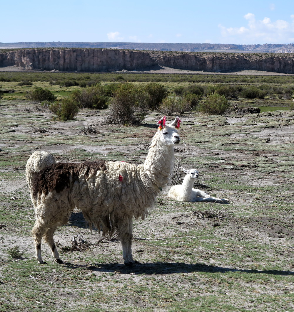 Llamas in Bolivia Double-Barrelled Travel