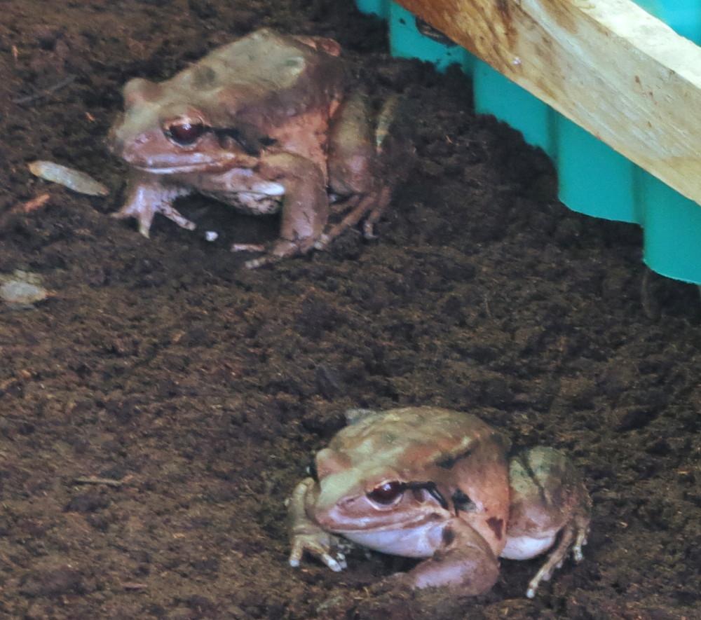 Mountain Chicken Dominica Mountain Chickens Dominica