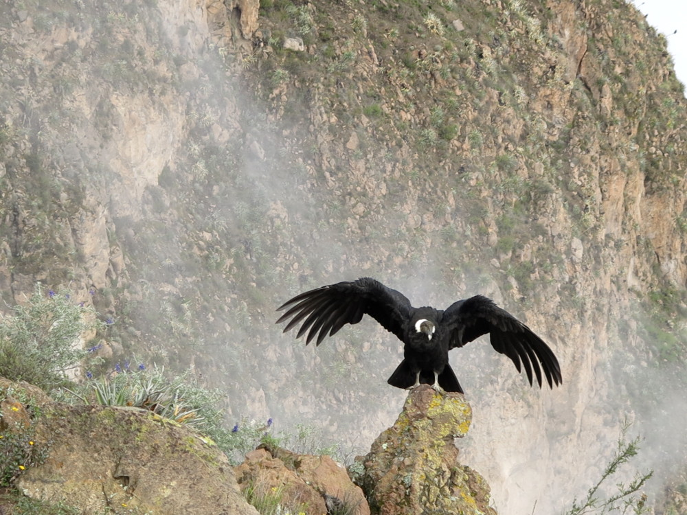 Condor Colca Canyon Double-Barrelled Travel
