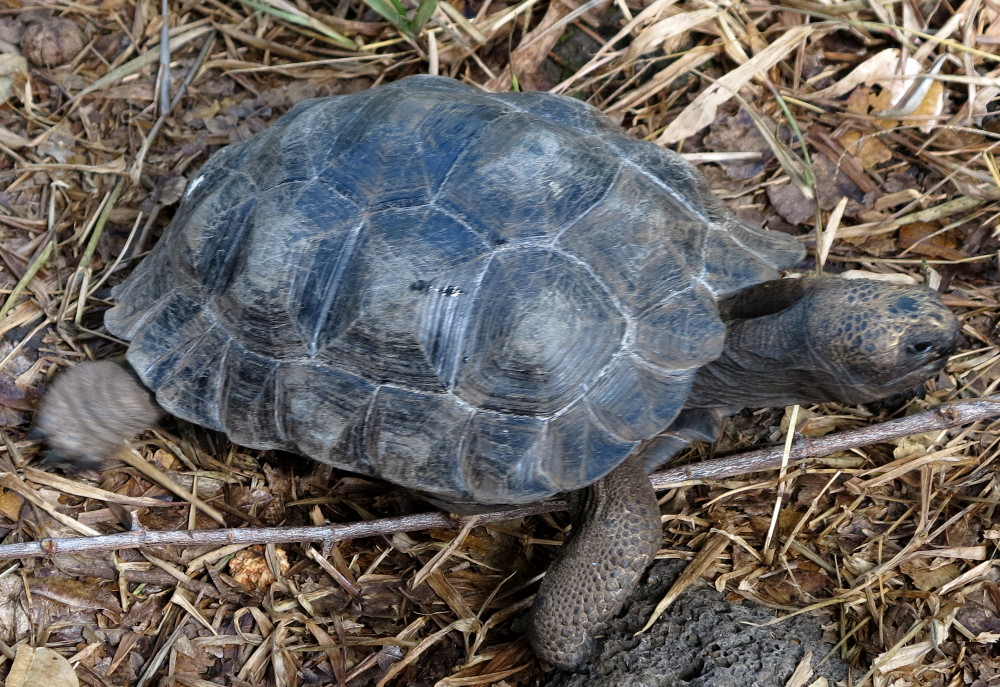 Baby Galapagos giant tortoise Double-Barrelled Travel