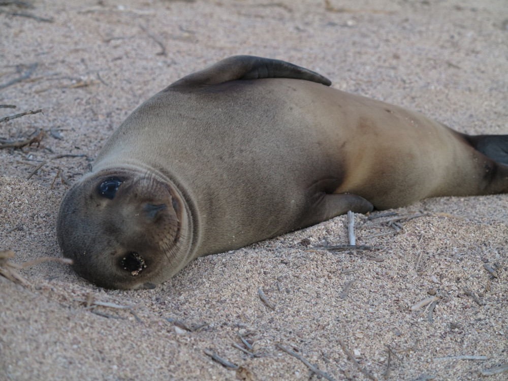 Baby sea lion North Seymour Galapagos Double-Barrelled Travel