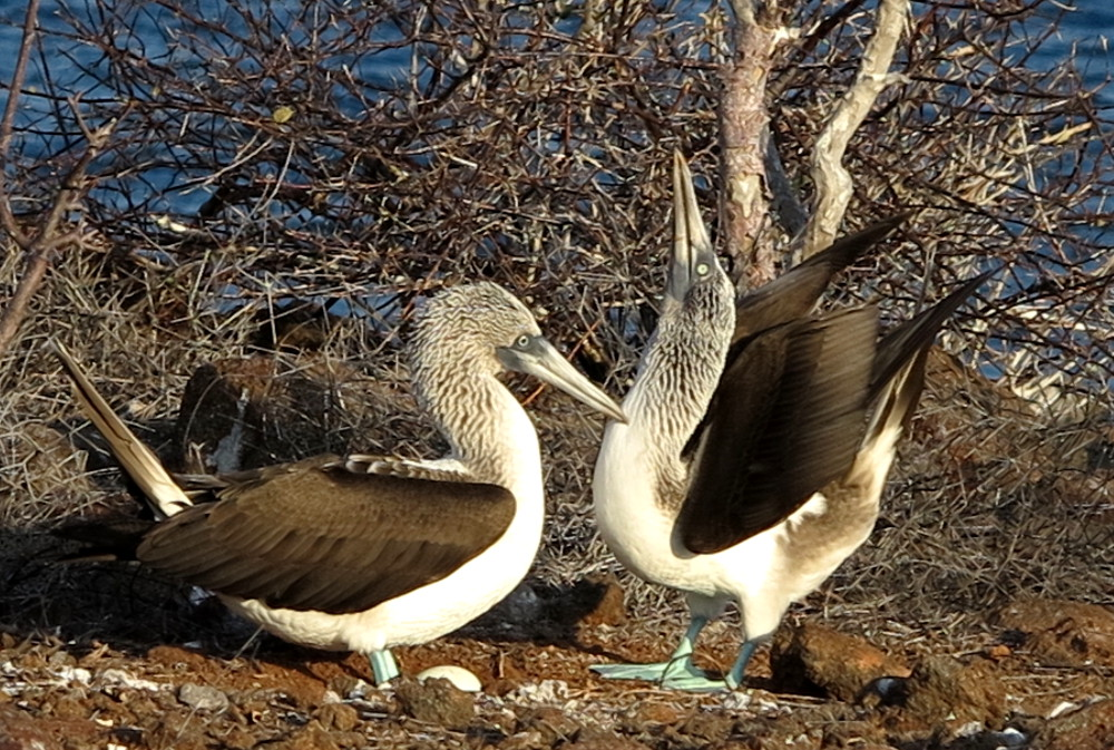 Blue footed booby perform mating dance North Seymour Galapagos Double-Barrelled Travel