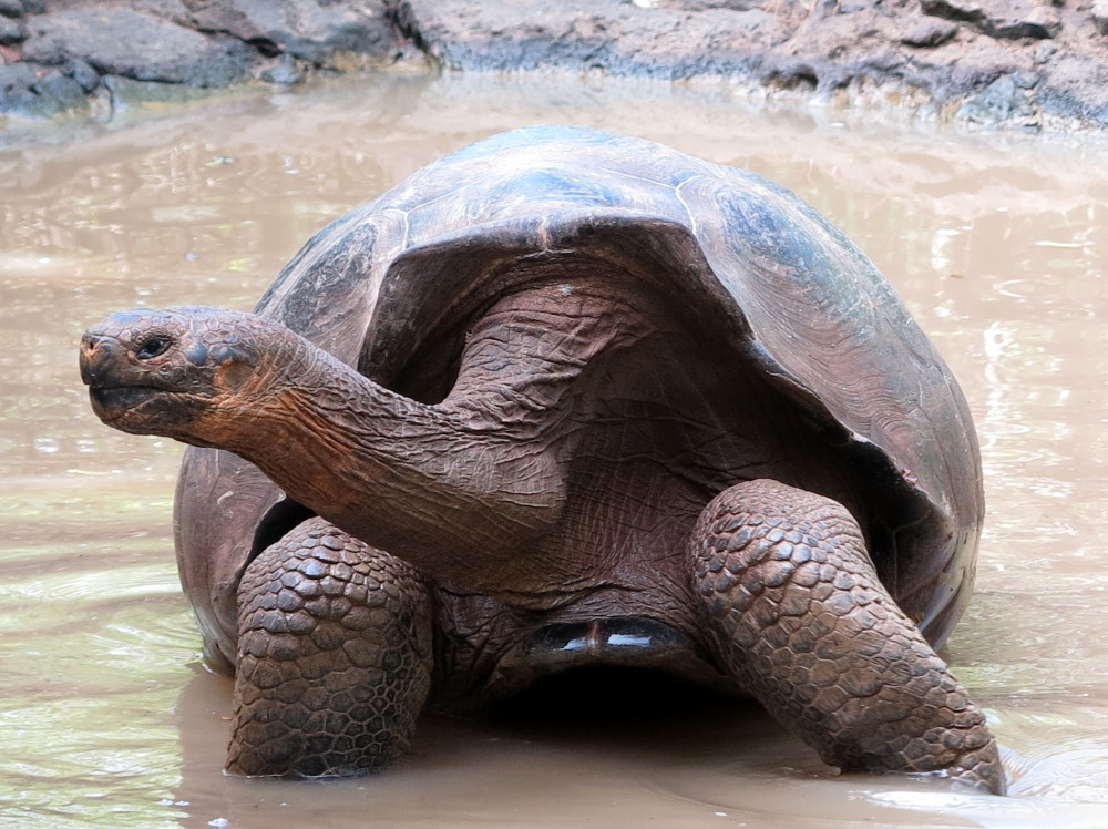Galapagos giant tortoise cooling off Double-Barrelled Travel
