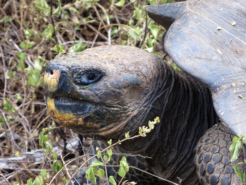 Galapagos giant tortoise face Double-Barrelled Travel