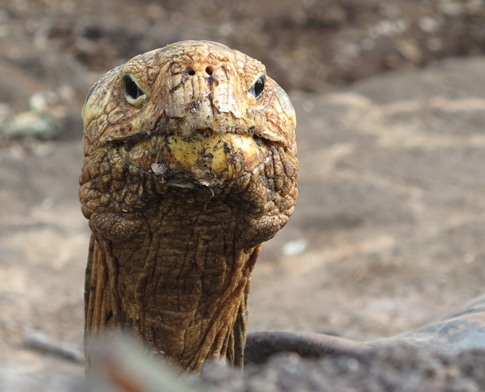 Galapagos giant tortoise looking Double-Barrelled Travel