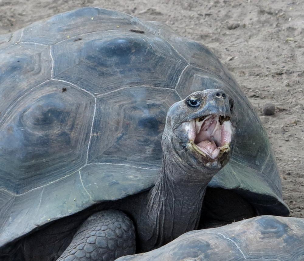 Galapagos giant tortoise shell yawn Double-Barrelled Travel