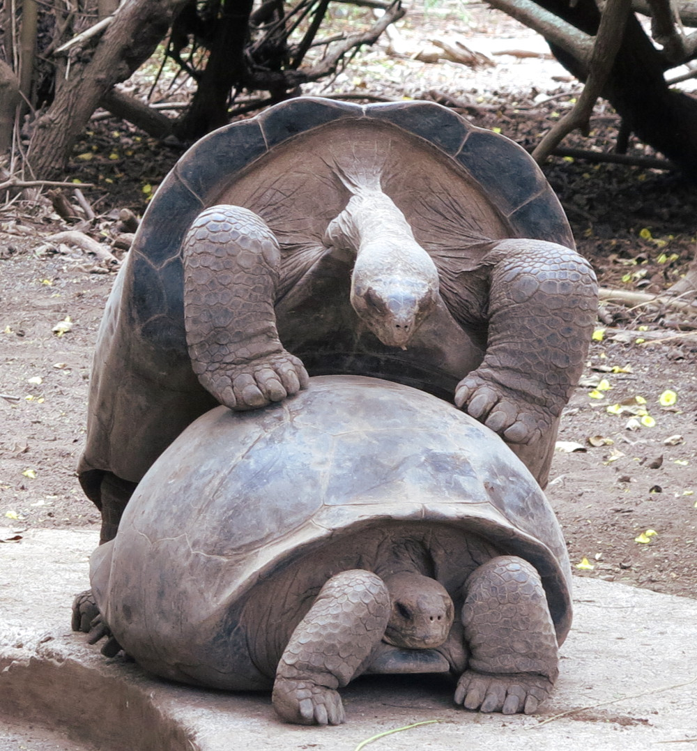 Giant tortoises mating Galapagos Double-Barrelled Travel