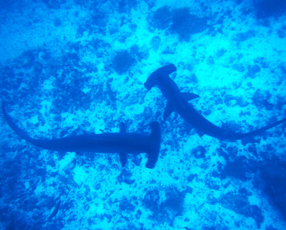 Diving with hammerheads Double-Barrelled Travel