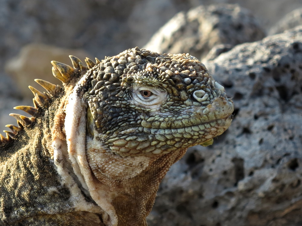 Land iguana Galapagos Double-Barrelled Travel