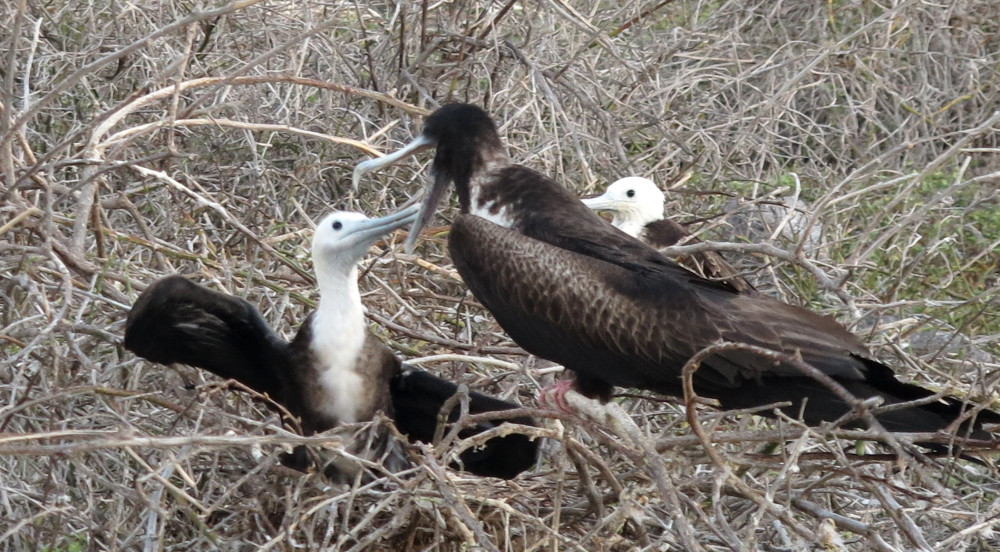 Magnificent frigate feeding chick North Seymour Galapagos Double-Barrelled Travel