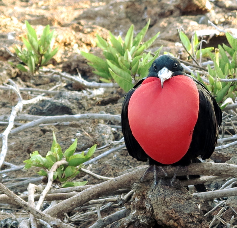 Male frigatebird Galapagos Double-Barrelled Travel