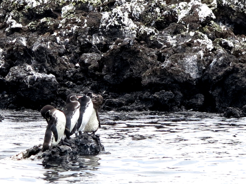 Penguins Galapagos Double-Barrelled Travel