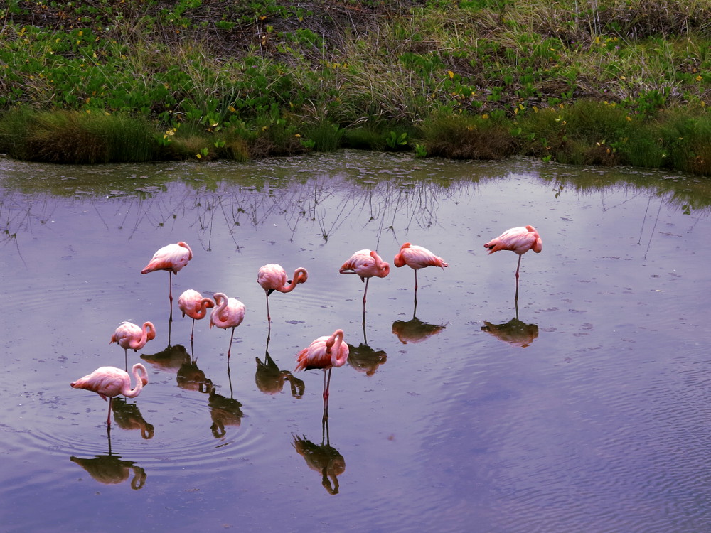 Pink flamingoes Galapagos Double-Barrelled Travel