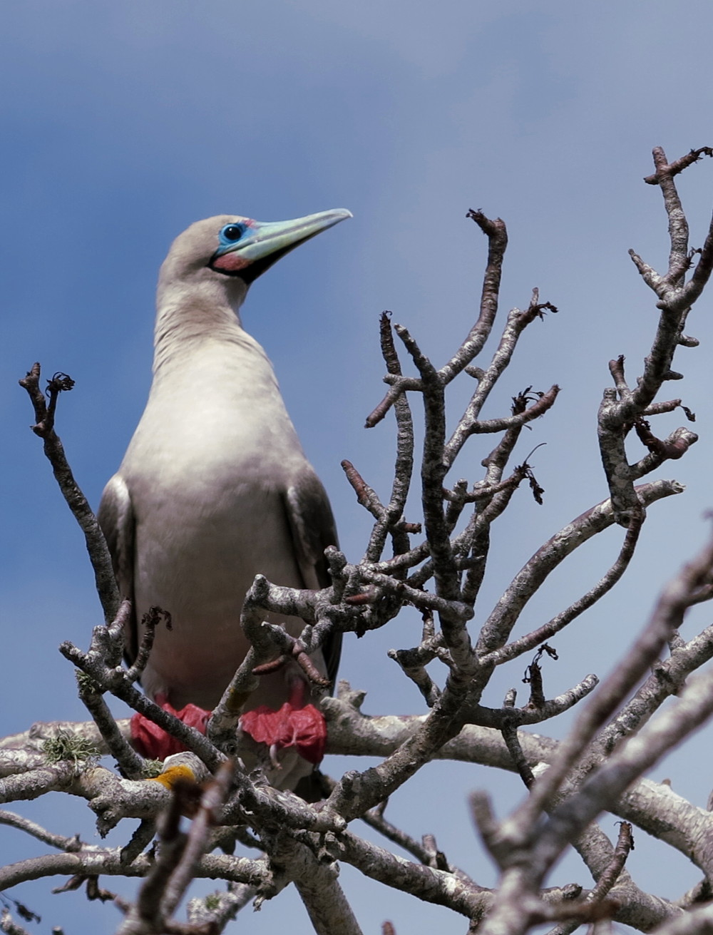 Red-footed booby Galapagos Double-Barrelled Travel