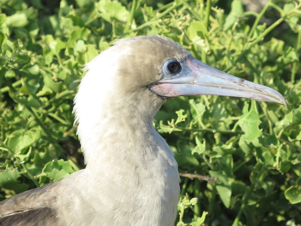 Red footed booby in Galapagos Double-Barrelled Travel