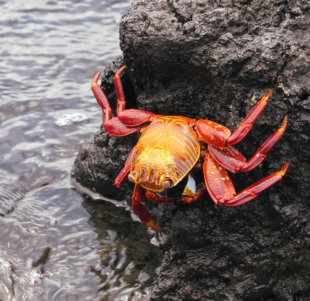 Sally lightfoot crab Galapagos Double-Barrelled Travel