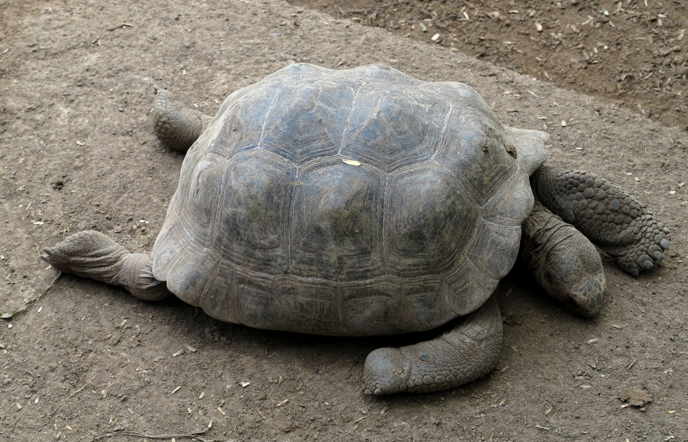 Young Galapagos giant tortoise Double-Barrelled Travel