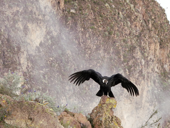 Andean Condor Colca Canyon Peru Double-Barrelled Travel