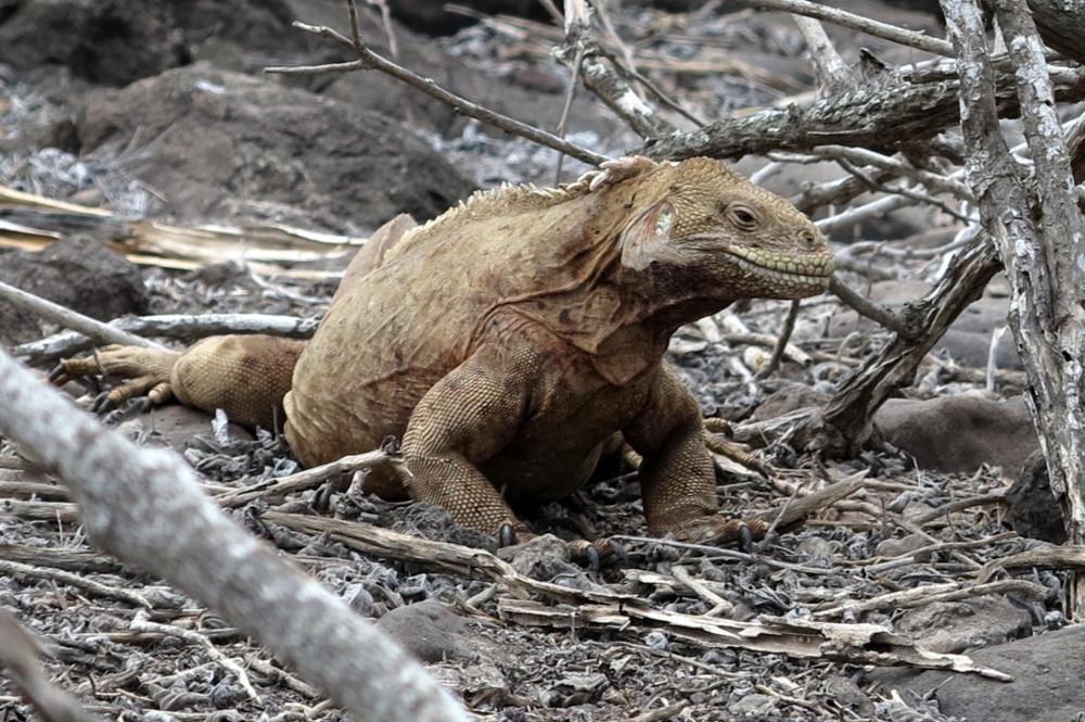 Iguana on Santa Fe Galapagos Double-Barrelled Travel