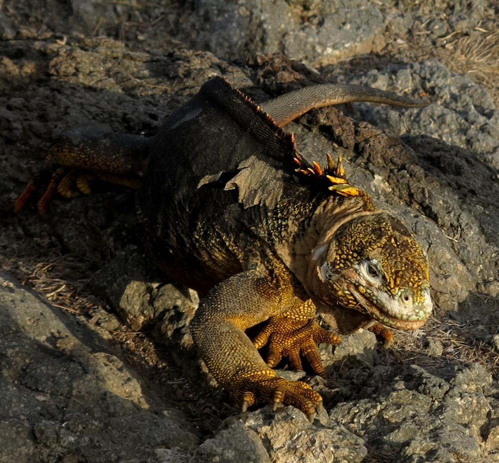 Iguana on South Plaza Galapagos Double-Barrelled Travel