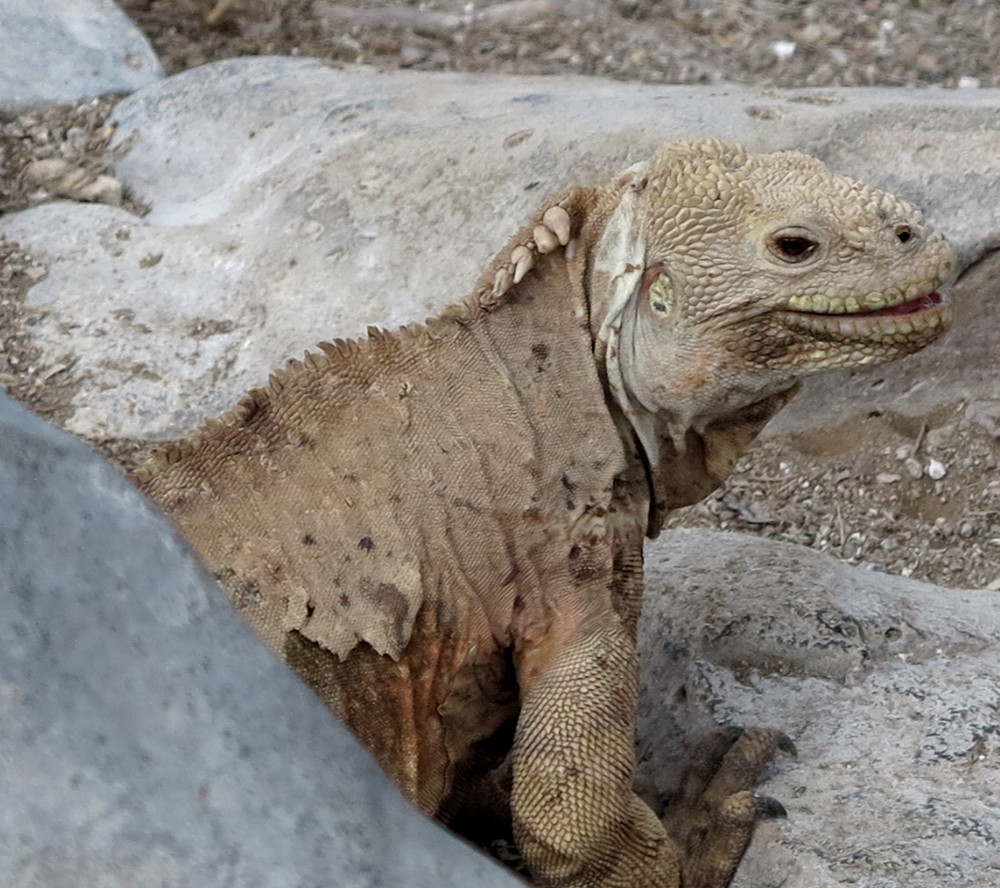Iguana smiles on Santa Fe Galapagos Double-Barrelled Travel